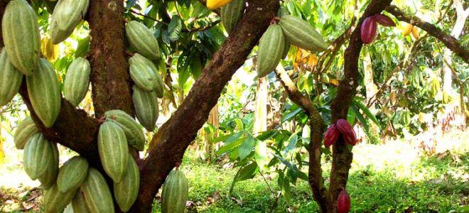 Всё о шоколадном какао дереве