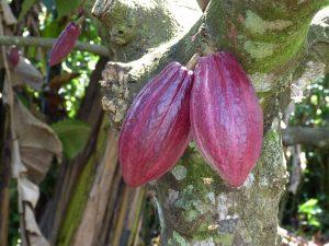 Какао дерево с плодами.