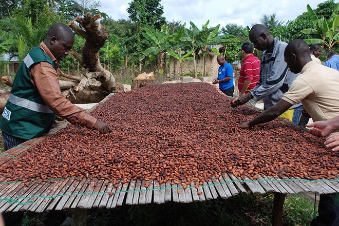 Сборщики какао бобов, сортировка.