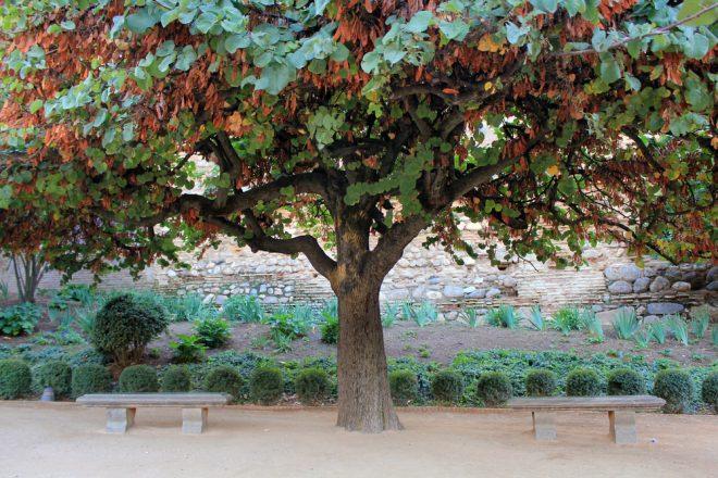 Фото Рожковое дерево в полный рост.