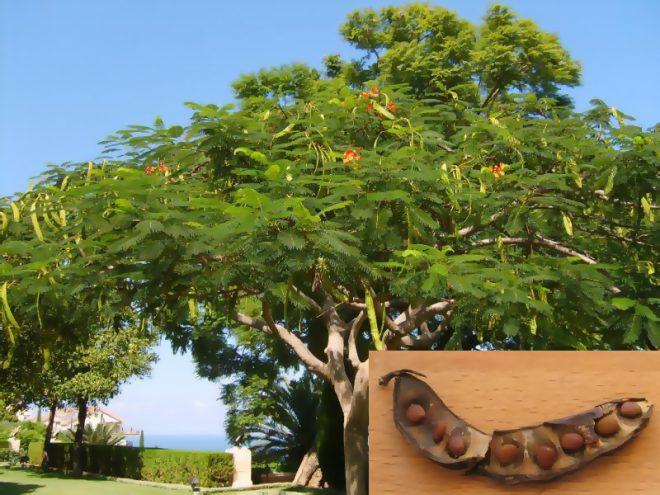 Фото Рожковое дерево.