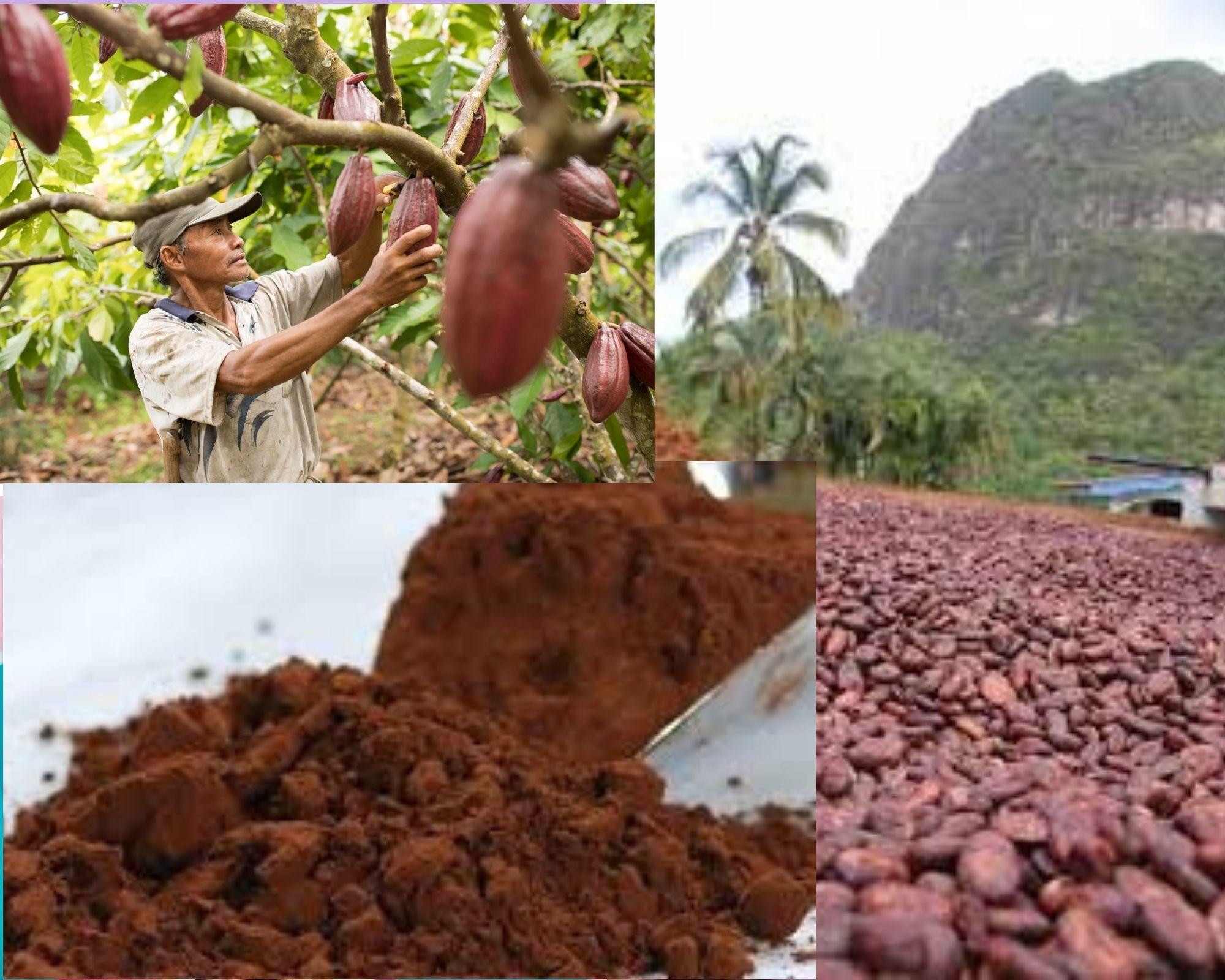 Фото Мужчина и плоды какао.